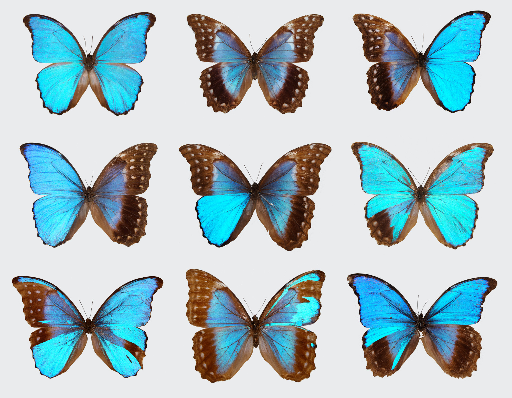 The Curious Case Of The Blue Morpho Butterflies