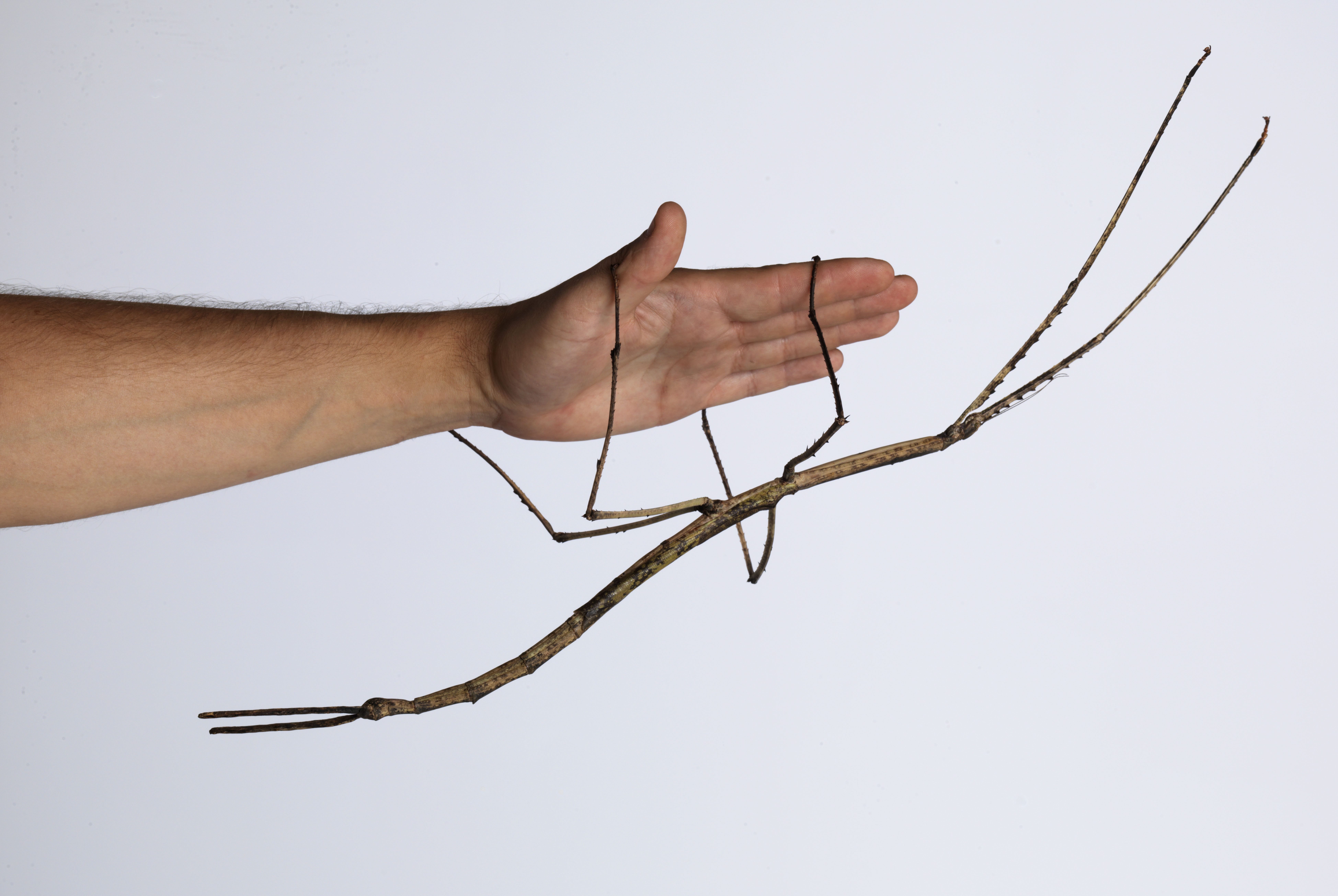 Science FridayBehold, The Gargantuan Stick InsectScience Friday
