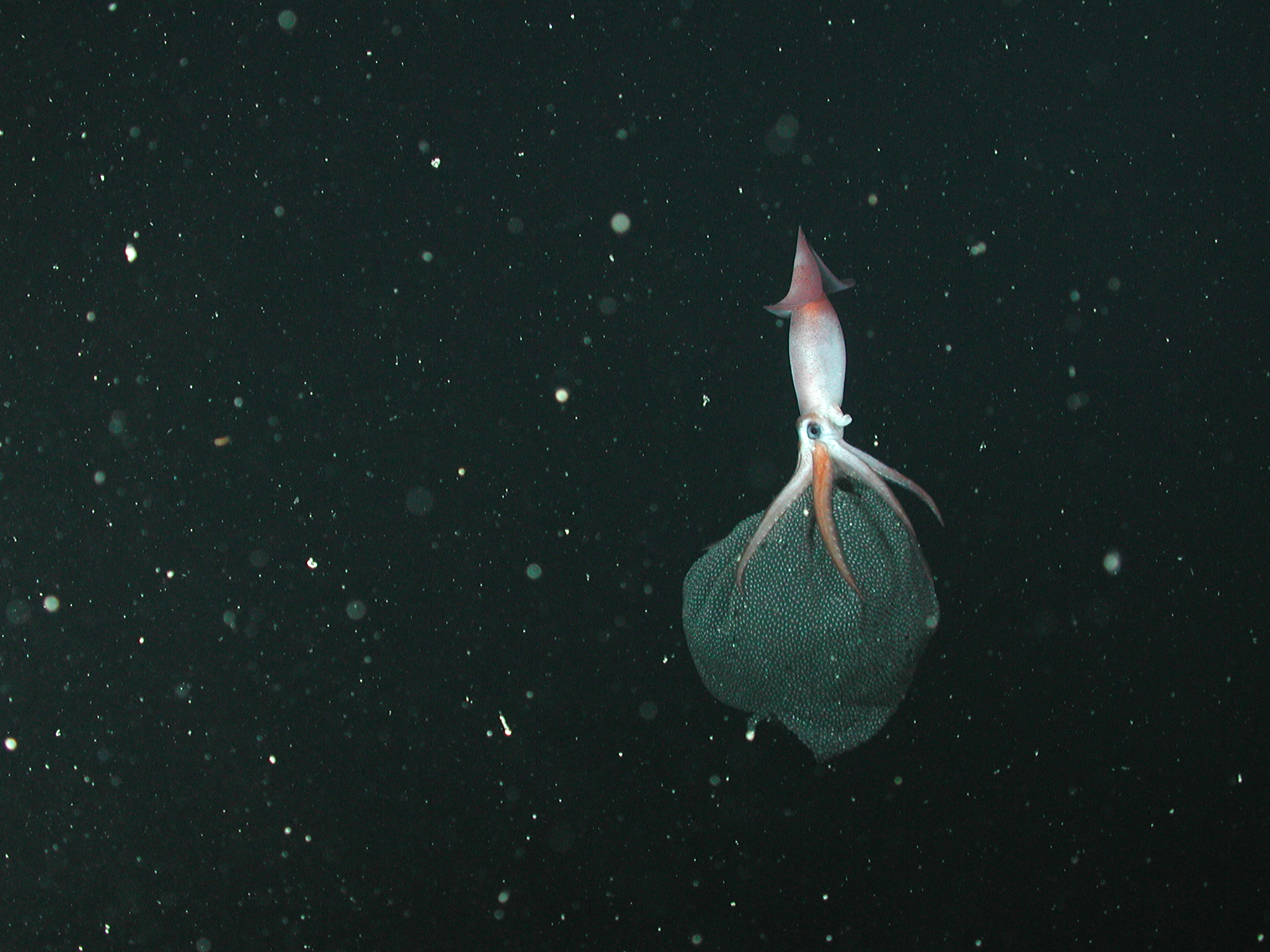 a squid in the deep dark ocean with a large black blob of eggs beneath its tentacles