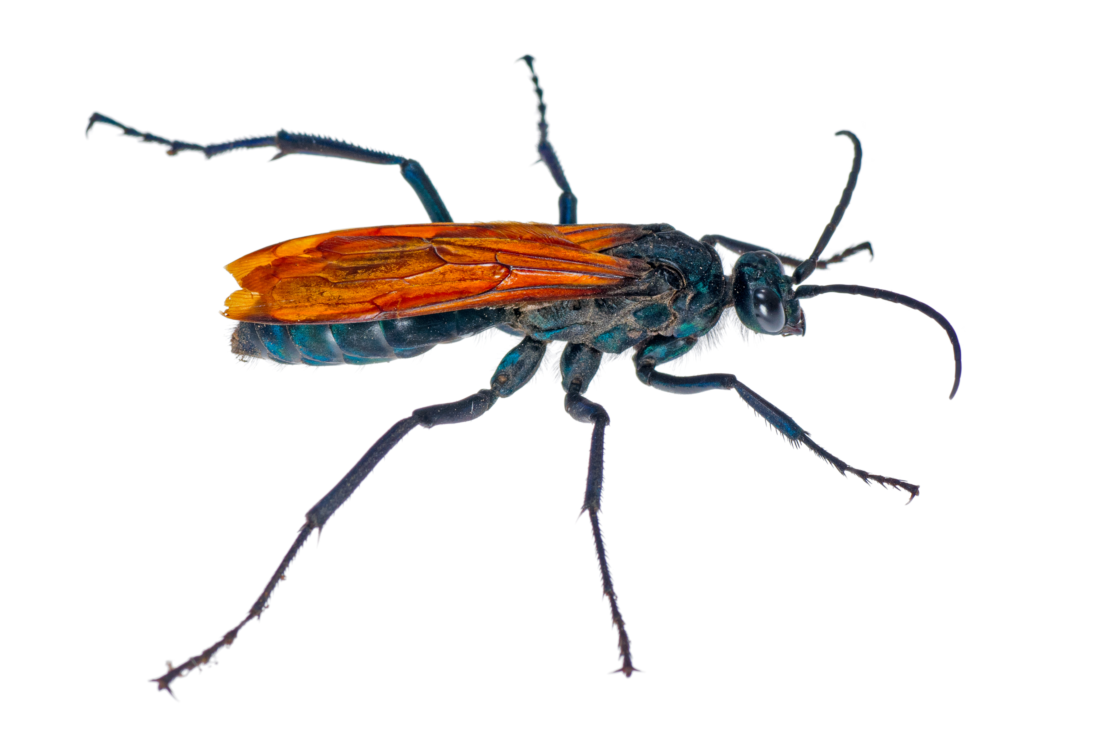 Why You Dont Want To Get Stung By A Tarantula Hawk