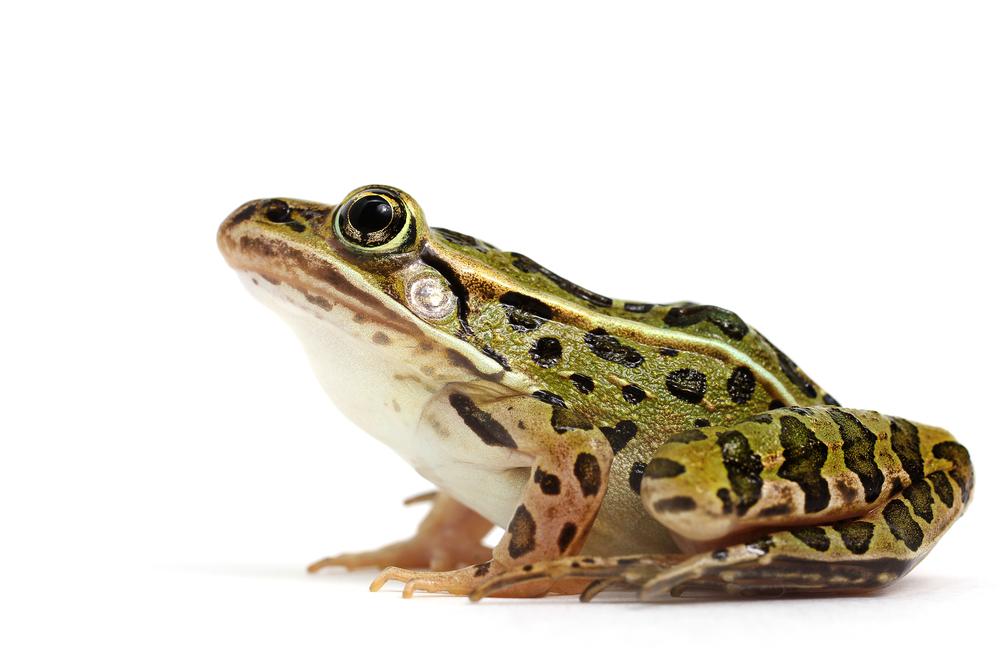 The Secrets of Sticky Frog Saliva Science Friday