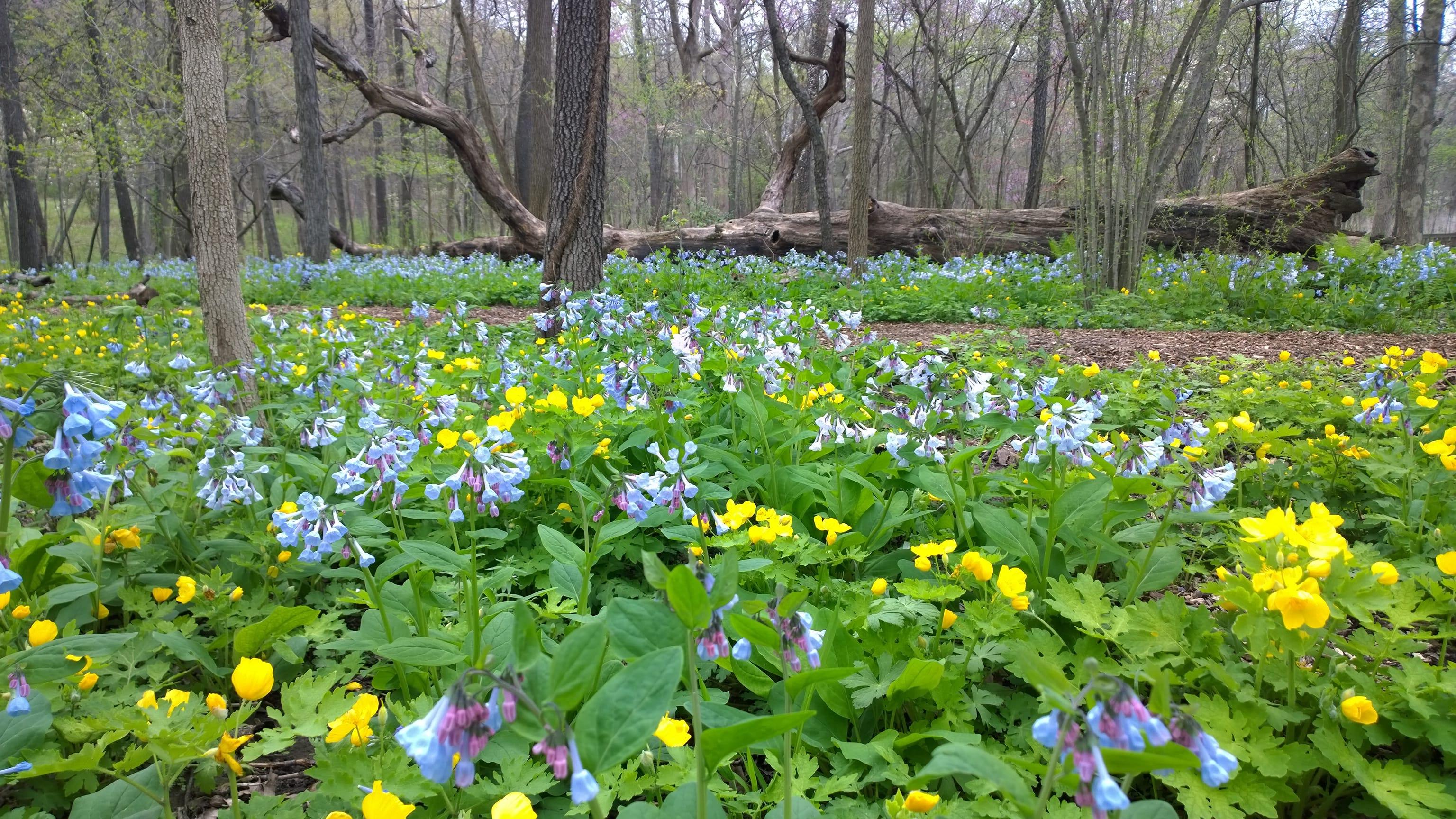 Celandine poppies and bluebells at the Missouri Botanical Garden. Credit: Scott Woodbury