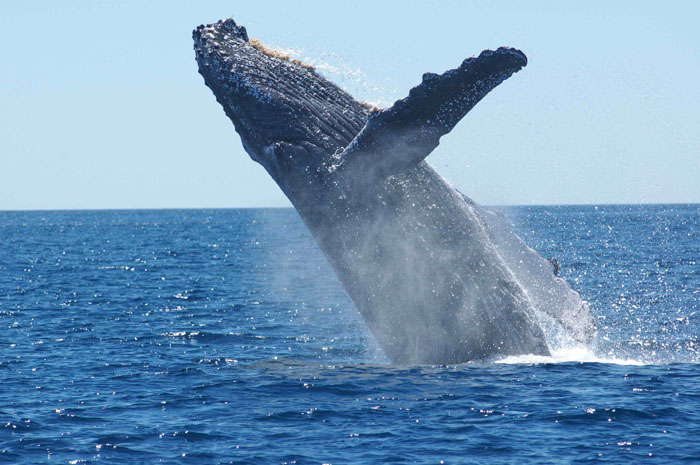 why are whales whale sized science friday. Black Bedroom Furniture Sets. Home Design Ideas