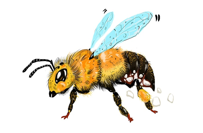 Bees Secrete Wax From Special Glands In Their Abdomens Illustration By Corlette Douglas
