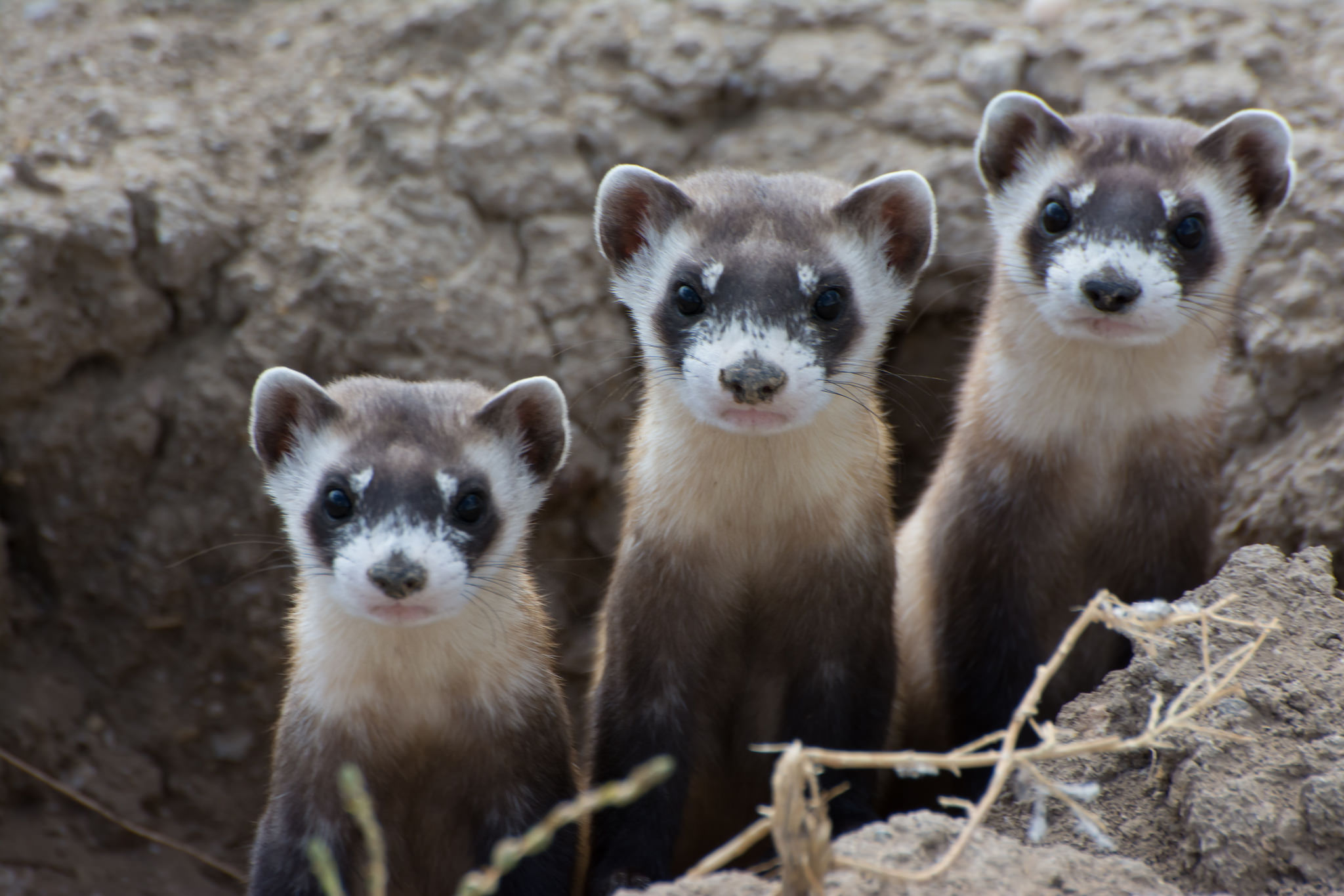 foto How to Spread the Ferret Fascination on wikiHow