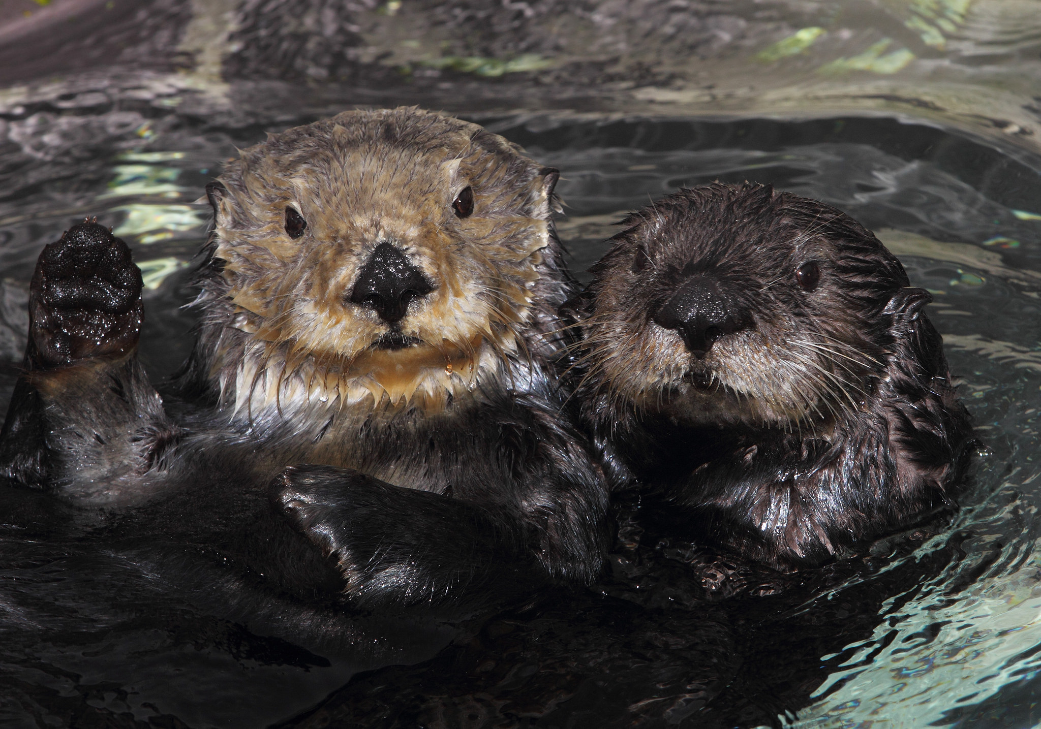 To Study Sea Otters, Use A Lifetime Tracker