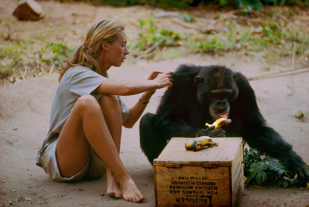 Goodall and chimp David Greybeard
