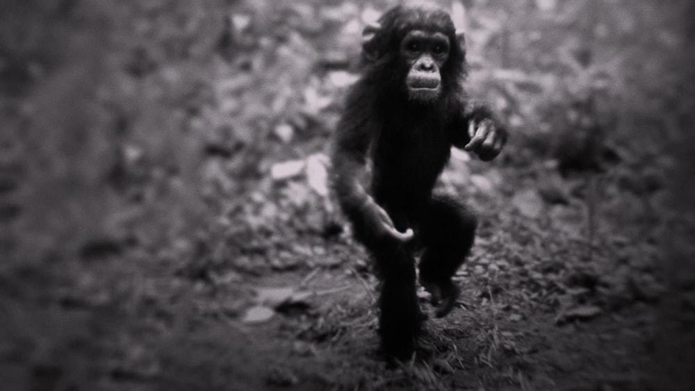 chimpanzee flint