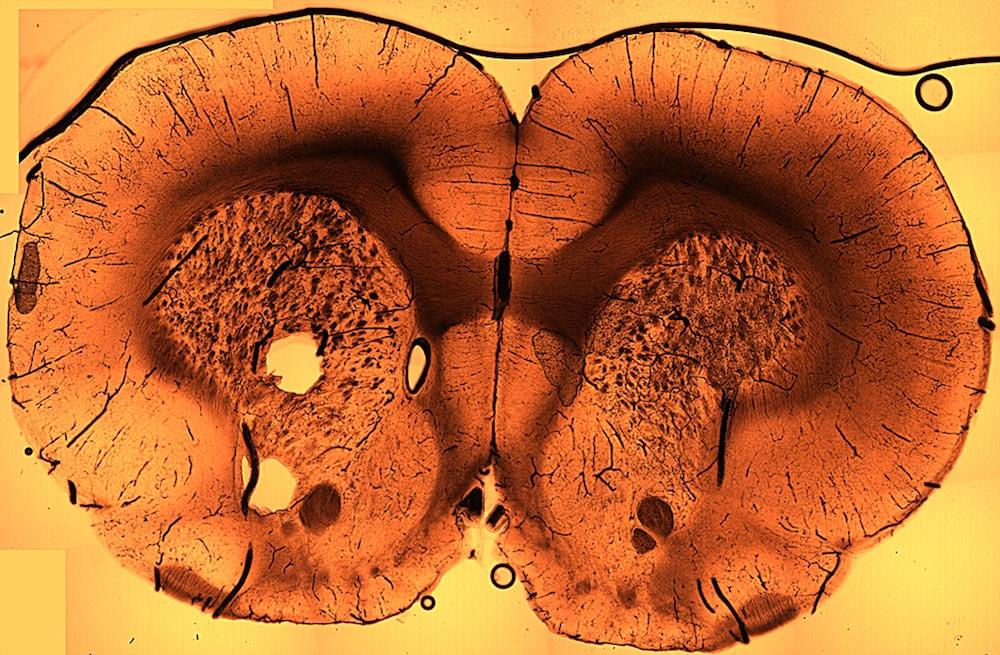 CT scan of sliced rat brain