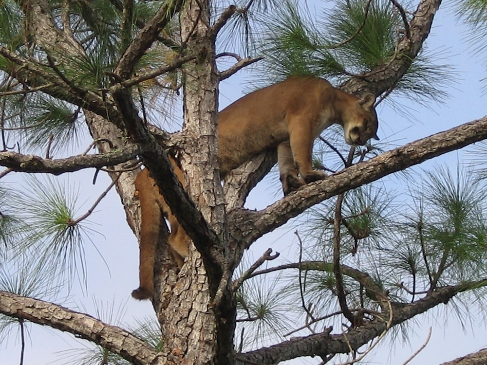 Florida panther in tree branches