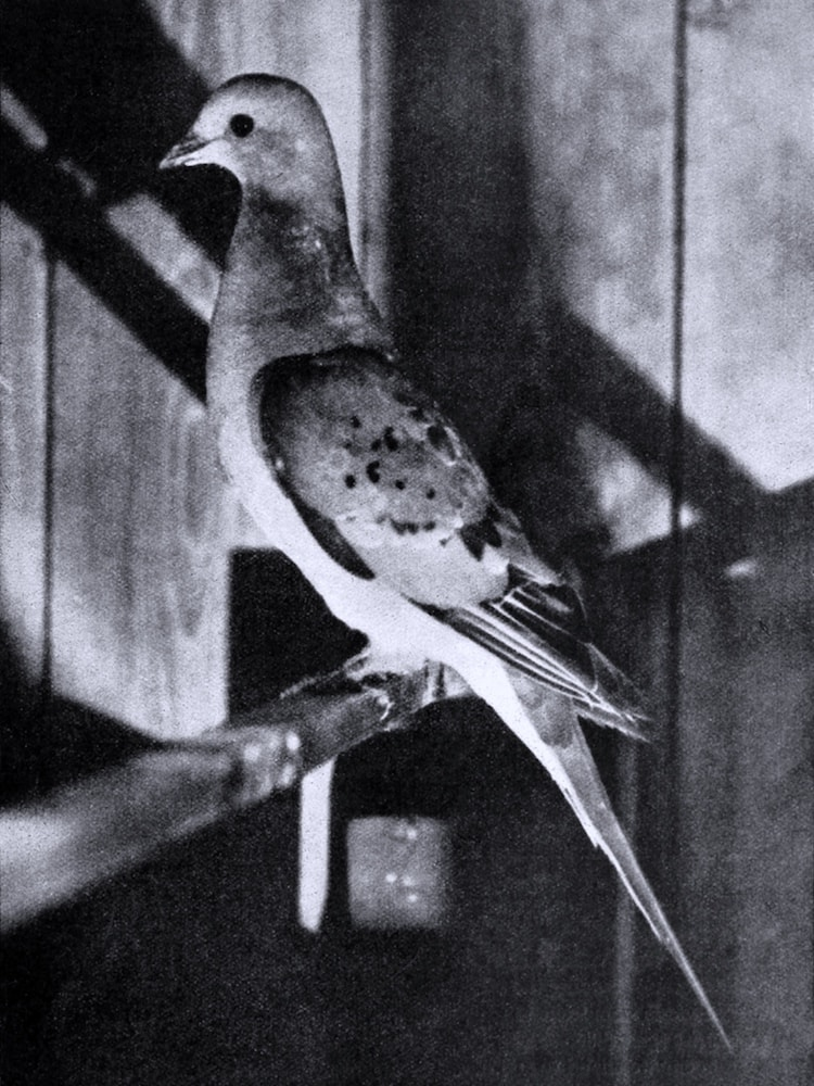 black and white image of passenger pigeon