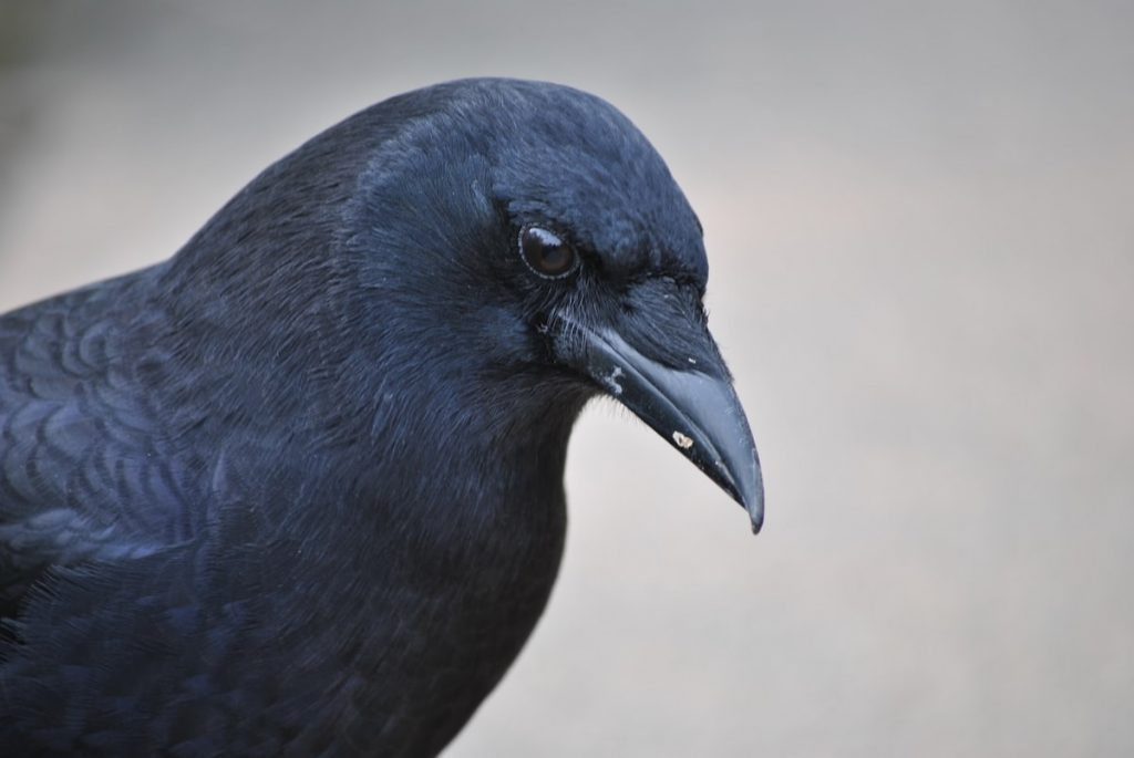 research crow