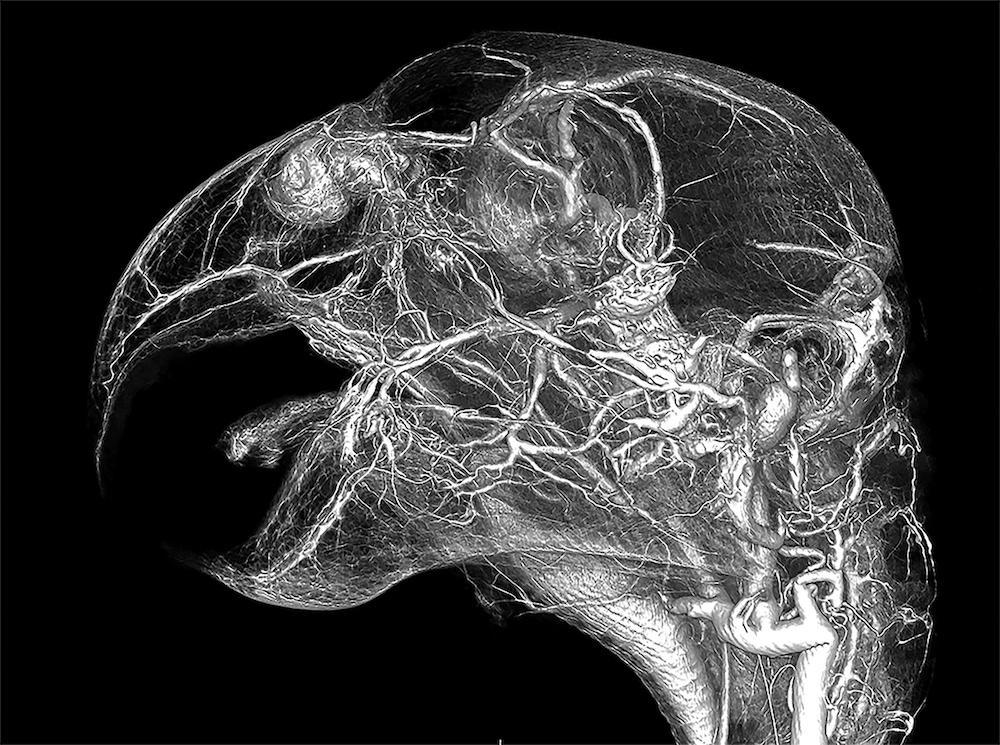 CT scan of grey parrot head