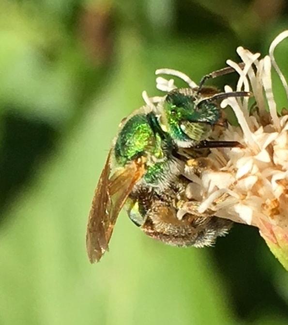 metallic green bee, side of head on a flower