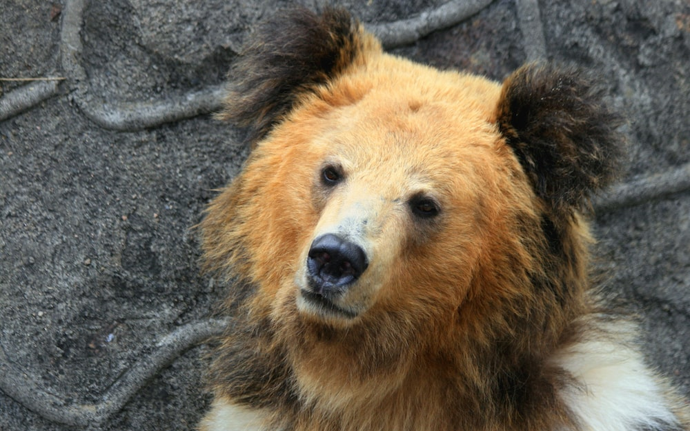 Bad News Bears For Yeti Hunters Himalayan Brown Bear Yeti