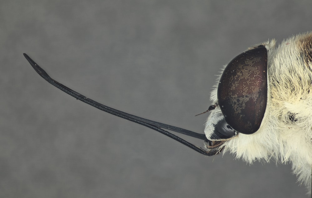 a close up of a fly where you can see its large eye and long proboscis