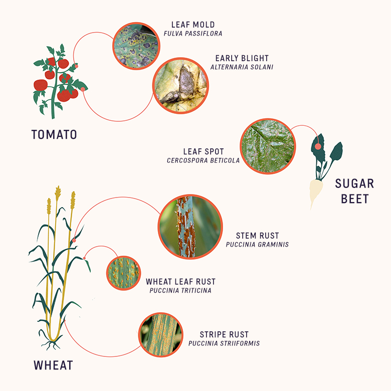 fungal pathogens of crops