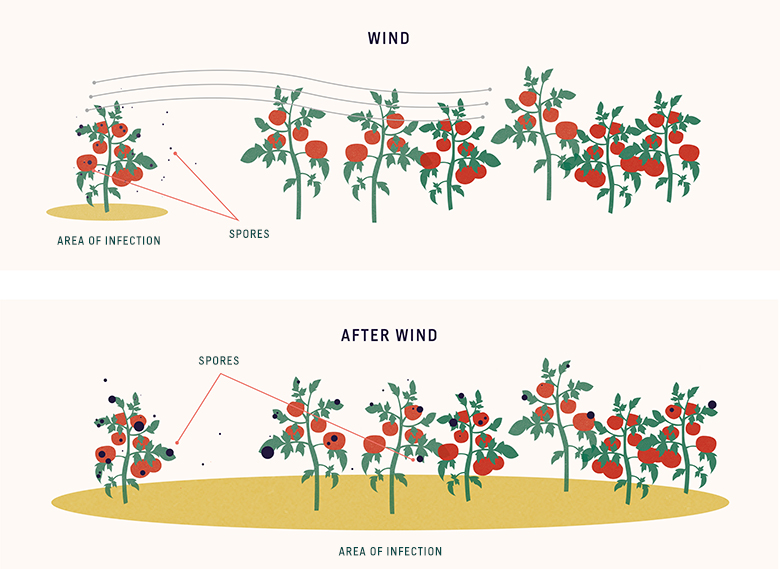 plant disease transmission by wind