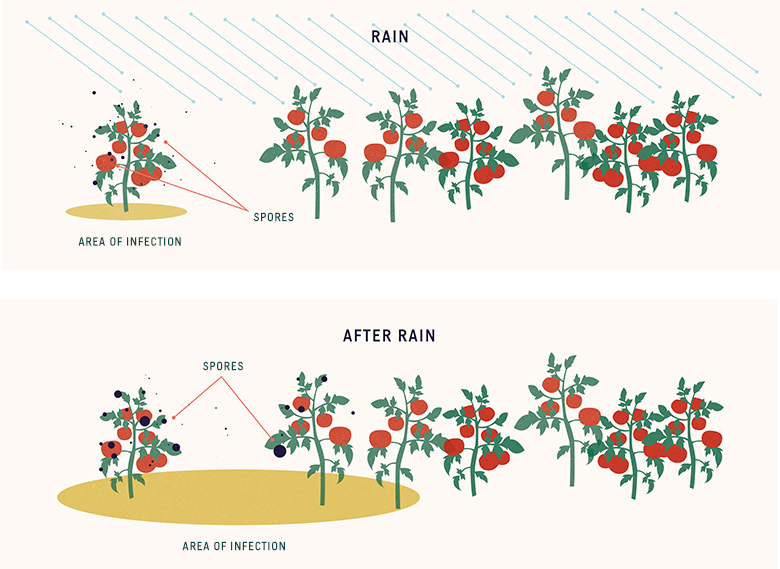 plant disease transmission by rain