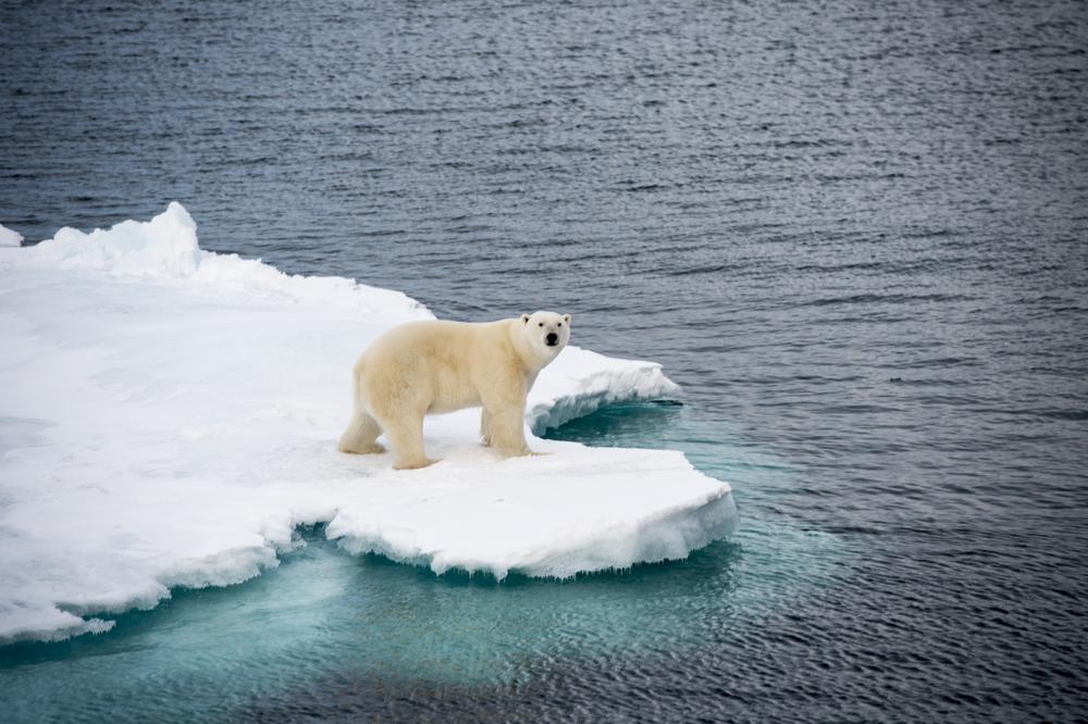 shutterstock_496962337 how shrinking sea ice may be shrinking polar bears