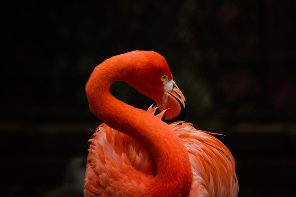 portrait of an American Flamingo (Phoenicopterus ruber)