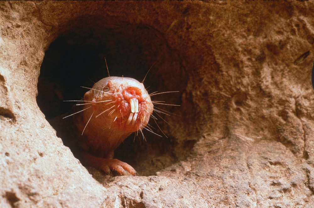 10 Facts About Naked Mole-Rats