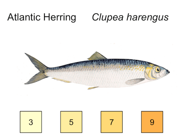 atlantic herring illustration, temp preferences 3, 5, 7, 9