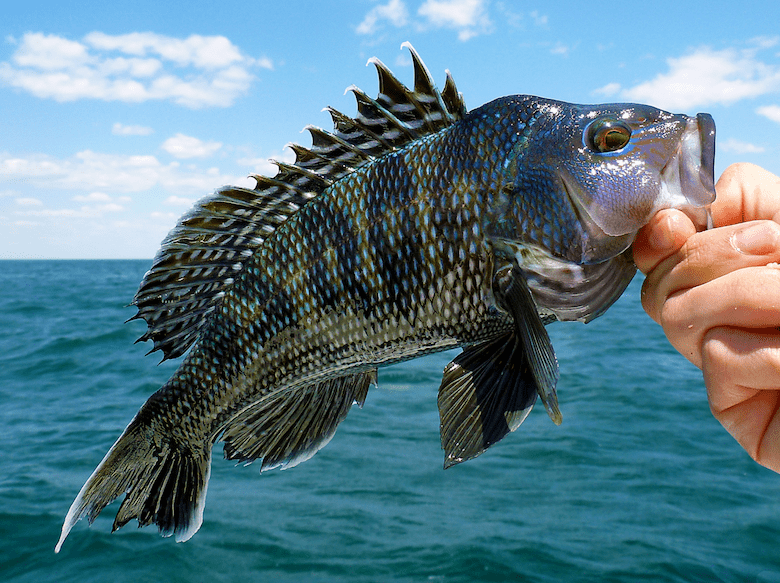 a black sea bass being held by the mouth by a hand