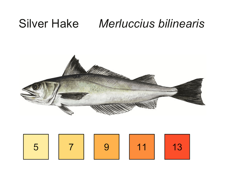silver hake merluccius bilinearis with temperature gradient: 5, 7, 9, 11, 13