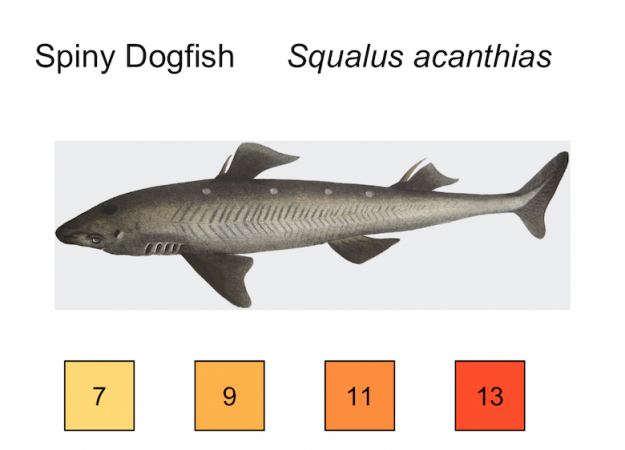 spiny dogfish illustration, temp preferences 7, 9, 11, 13