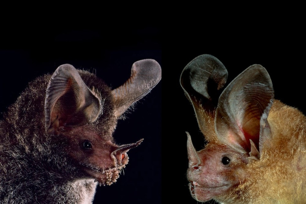 two different species of bats facing each other