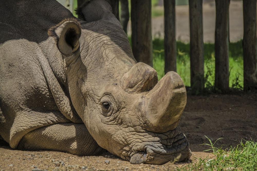 sudan the northern white rhino laying down