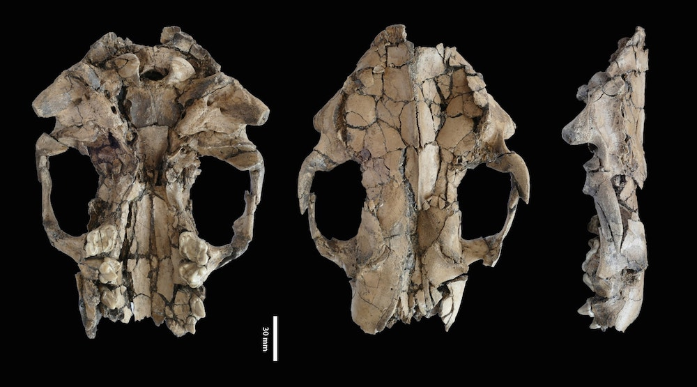 fossilized skull, three different angles