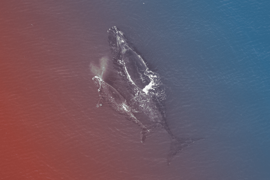 a mother whale and her calf swimming side by side