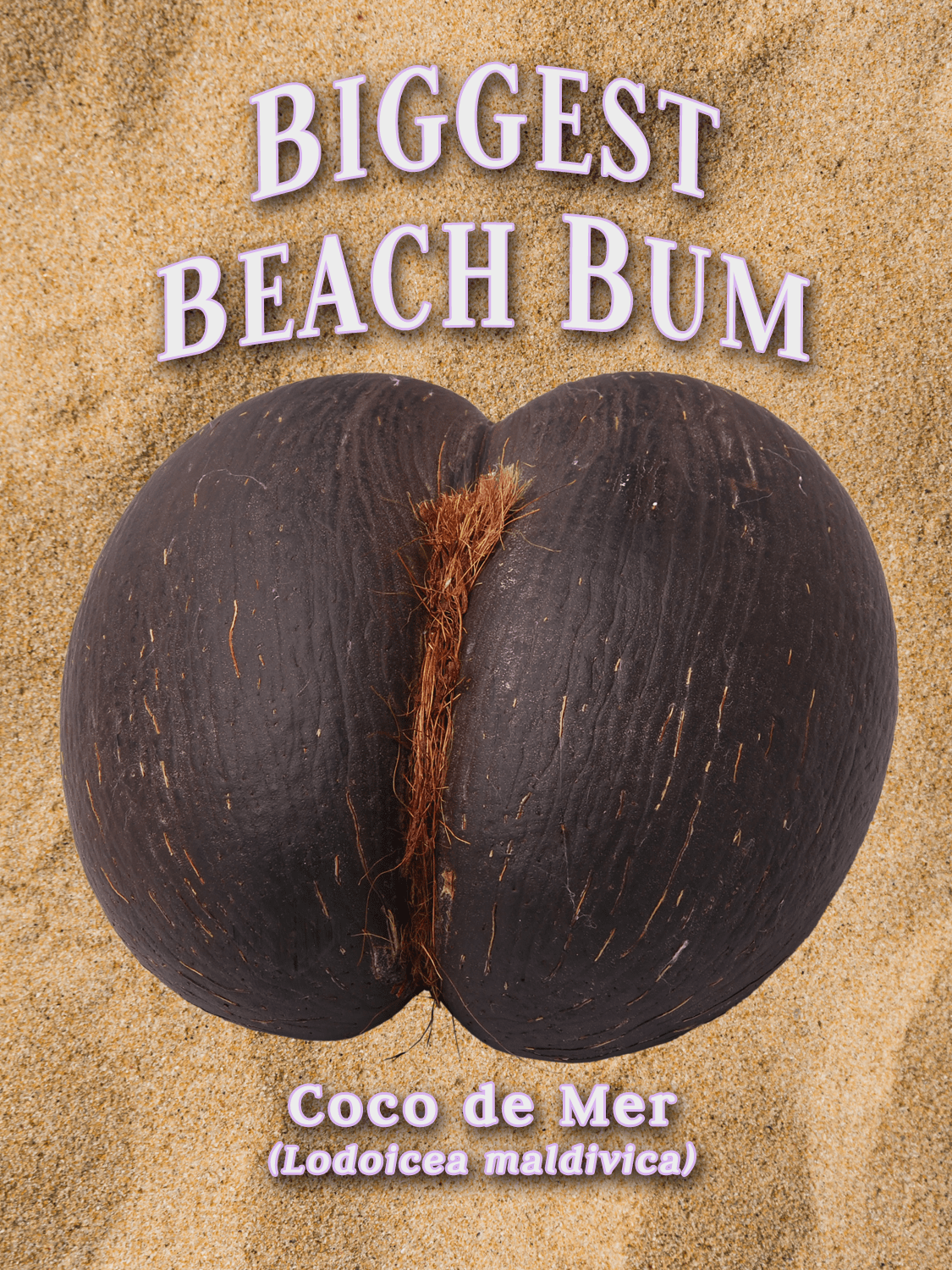 a yearbook style portrait of a coco de mer seed, on the backdrop of sand