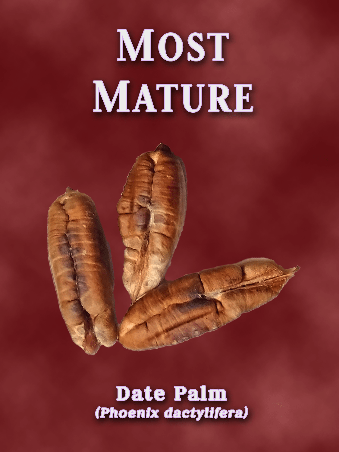 a yearbook style portrait of a date palm seed