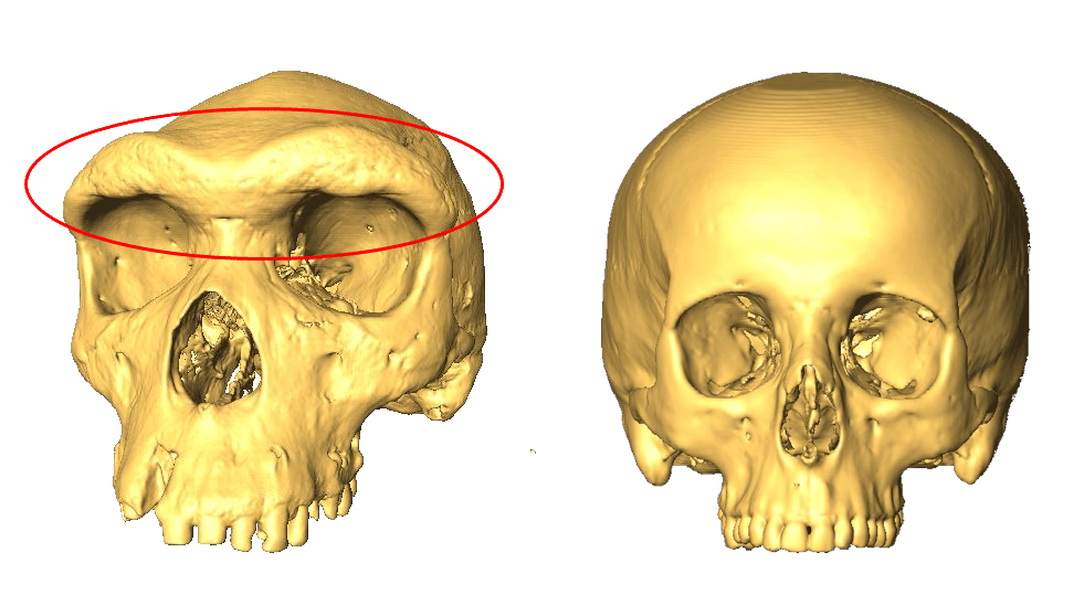 two skulls, one with a larger eyebrow ridge