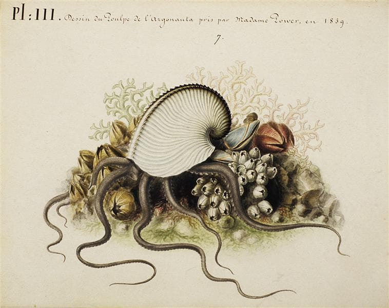 a colored illustration by villpreux-power of the argonaut octopus over barnacles and seabed