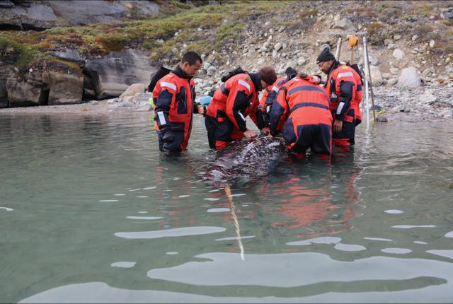 Group of scientists next to a narwhal in shallow water
