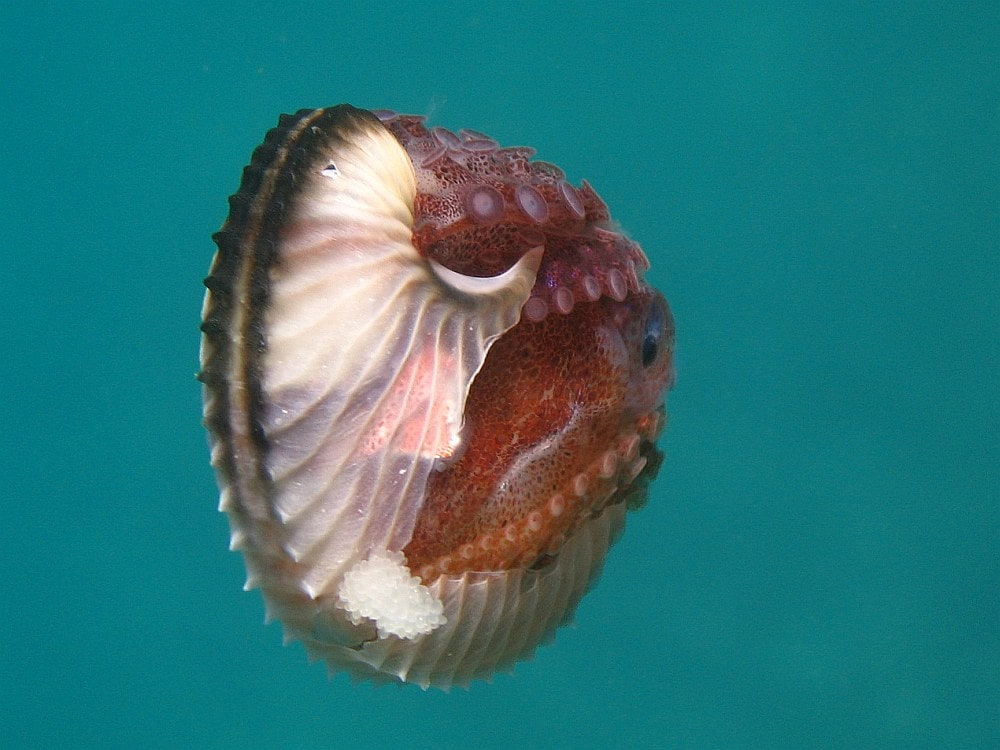 a female argonaut octopus in a badly cracked egg case. you can see eggs hanging out of the side as well as the arms and suckers of the entire side of the octopus