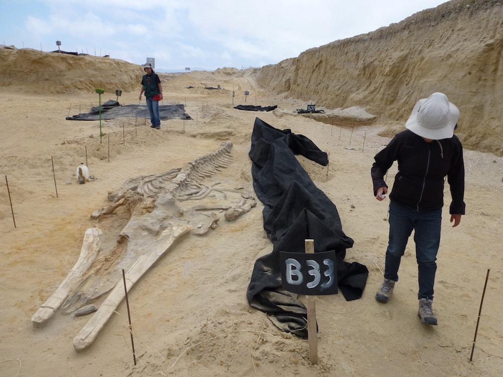 two paleontologists walking around the excavation site of whale bones