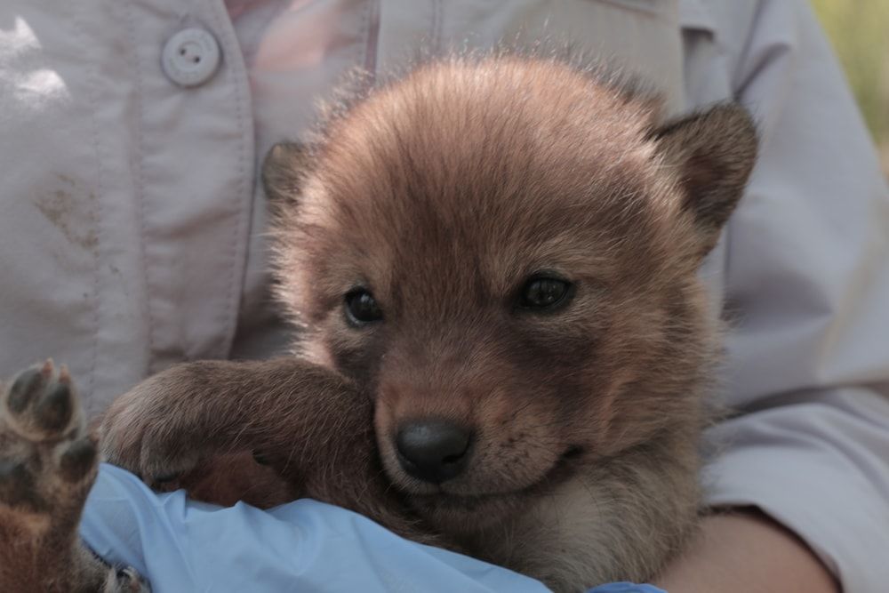 a coyote pup, which looks similar to a dog pup, tucked within the arms of a person