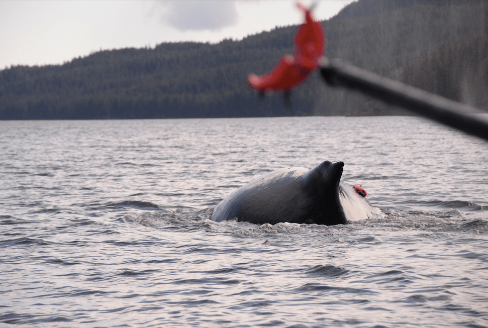 a whale's back rising up out of the water with a red tag on it