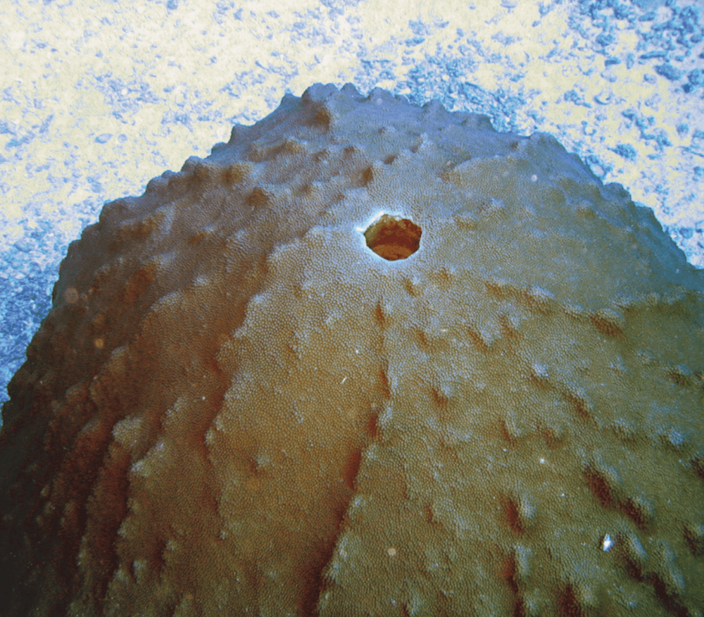 rounded coral with hole in the center