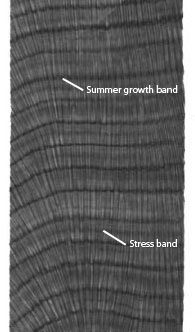 """an x-ray of coral that has roughly 10 horizontal lines, or bands. between each band are many vertical lines. there are two arrows attached to the following text, """"summer growth band"""" and """"stress band"""""""