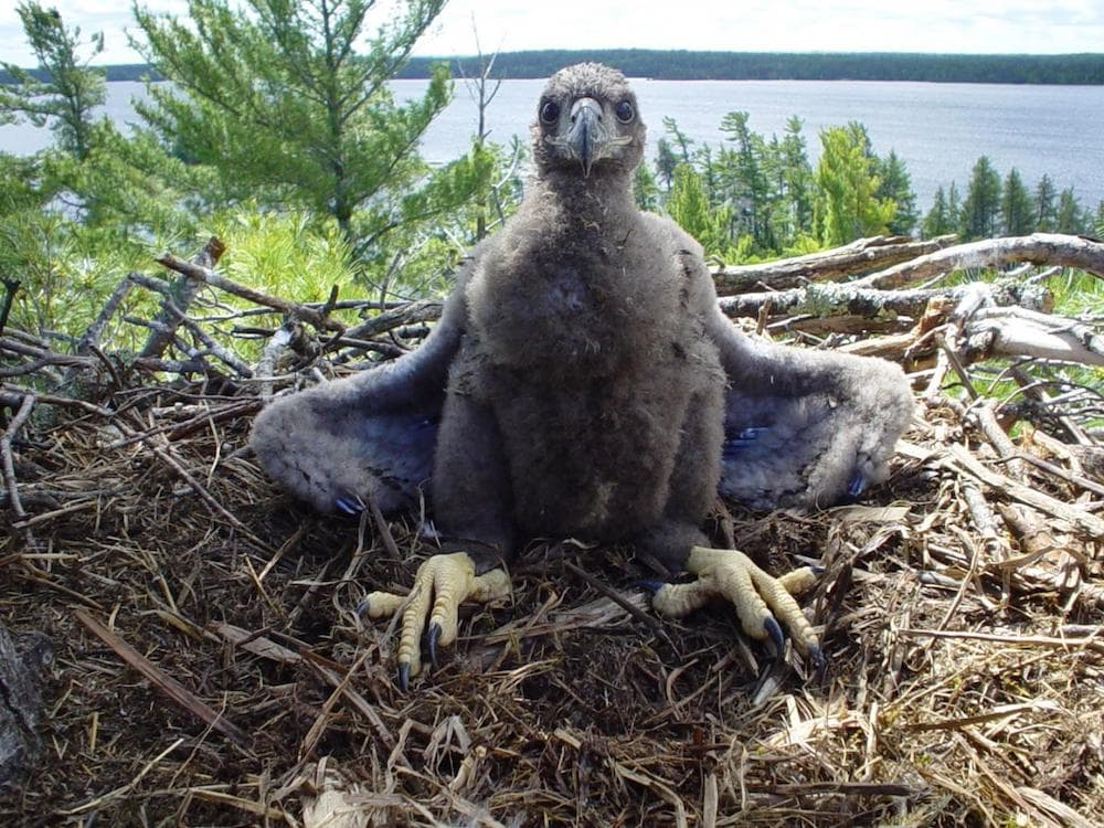 a young eagle with fluffy grey feathers sits in a nest in a forest overlooking a lake