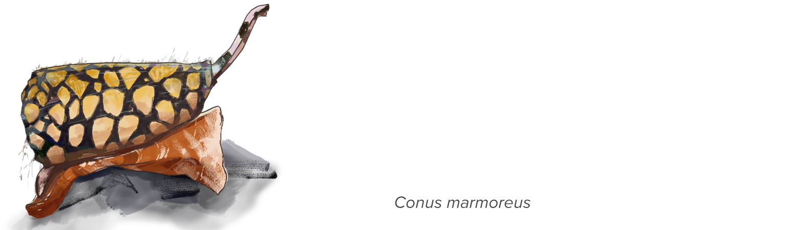 "illustration of cone snail with text ""conus marmoreus"""