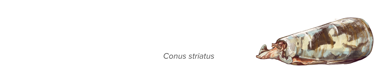 "illustration of cone snail with text ""conus striatus"""