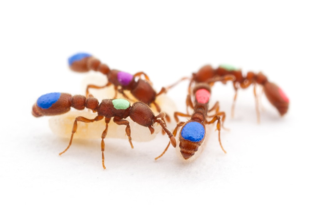 four ants marked with different colors on their abdomens