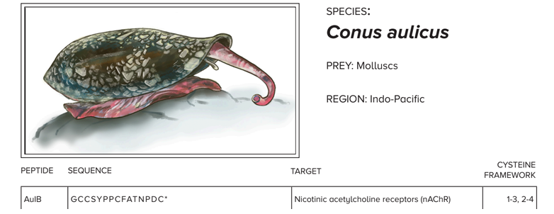 "illustration of cone snail with text ""species: conus aulicus; prey: molluscs; region: indo-pacific"" then, the beginning of a table follows with columns named ""peptide; AulB (below in cell); sequence; GCCSYPPCFATNPDC (below in cell); target; Nicotinic acetylcholine receptors (nAChR) (below in cell); and cysteine framework; 1-3, 2-4 (below in cell)"